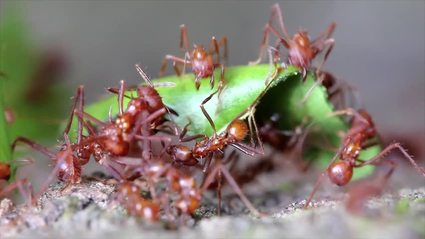 Leaf Cutter ants cutting leaves and fighting over the bounty in the Peruvian Amazon - HD stock video clip