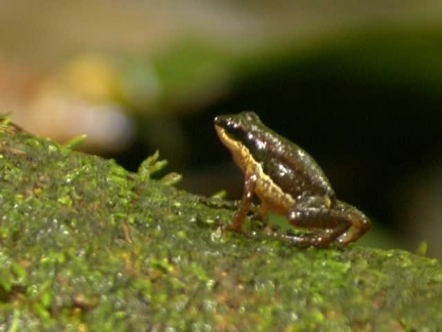 Header of Allobates insperatus