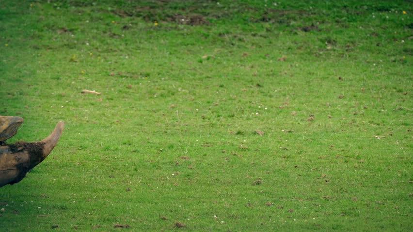 Rhino Walks Past Grazing | Shutterstock HD Video #19555444