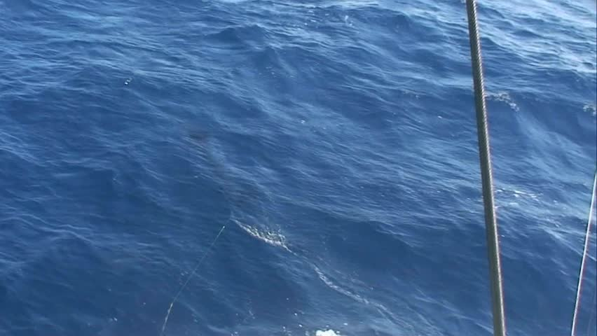 Striped Marlin hooked up and jumping at the back of the boat There are three marlin species caught in New Zealand waters striped, blue and black marlin | Shutterstock HD Video #1959940