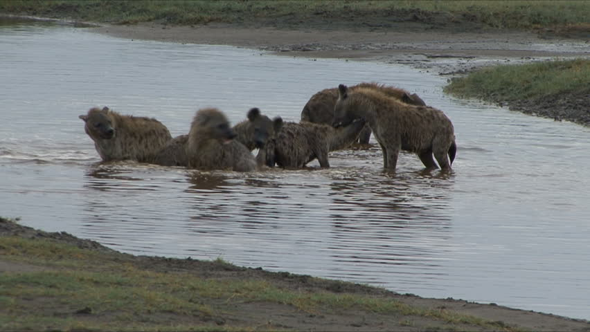 Hyena Pack plays in water after recent rain in Tanzania, Africa