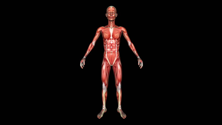 The Human Thin Body Muscle Animation. Loop. Alpha Matte - HD stock footage clip