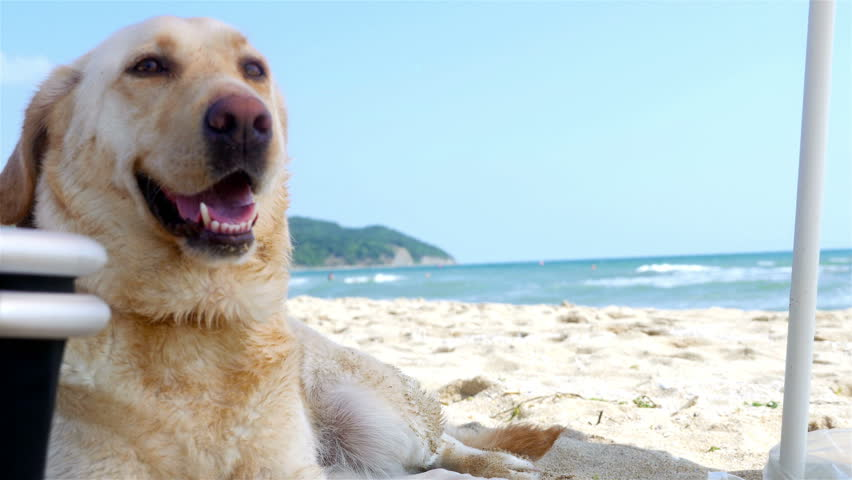 Dog sitting under parasol on the sea beach | Shutterstock HD Video #19759519