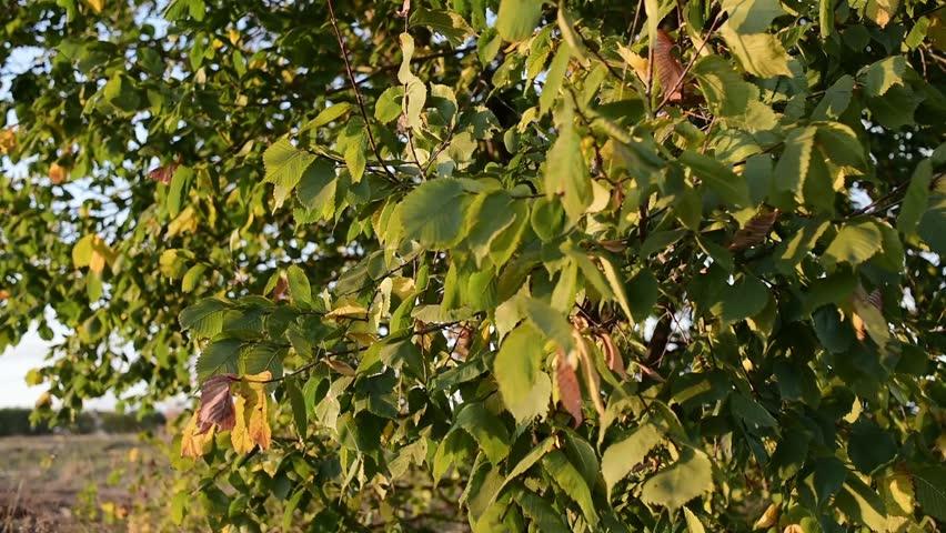 Mango Tree With Ripe Fruits In Farjado Stock Footage Video