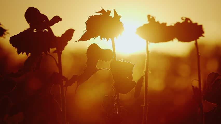 The orange sun shines through the sunflower plant. Sunflower ripe, bends to the ground and is ready for harvest | Shutterstock HD Video #19895527