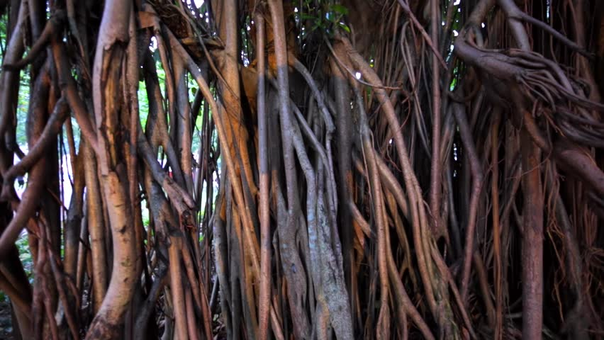 Closeup panoramical view of tropical banyan tree branches in KL park. It's a fig that starts its life as an epiphyte when its seeds germinate in cracks and crevices on a host tree or buildings