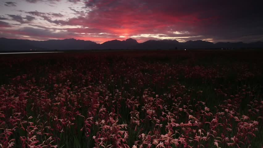 Wide angle view of an amazing sunset over a field of watsonia flowers in South Africa. | Shutterstock HD Video #20176399