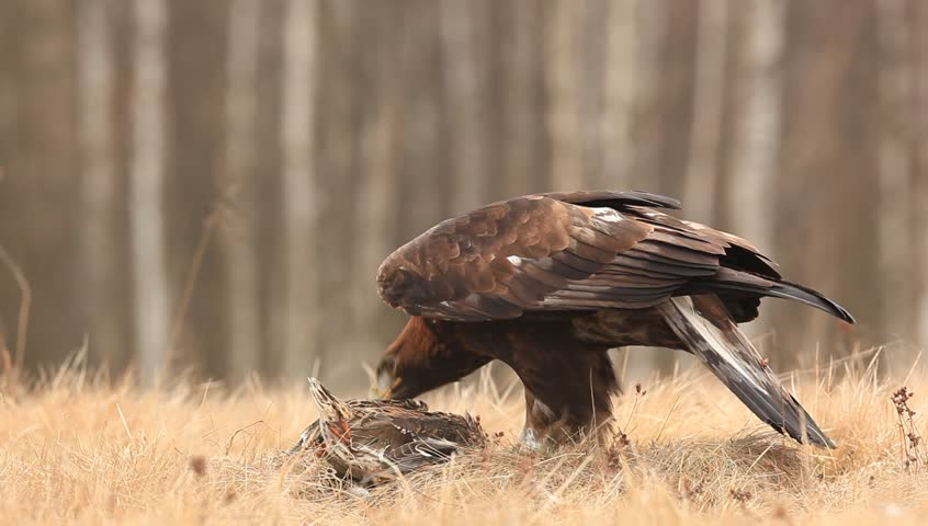 Eagle in the nature forest habitat, Norway. Golden eagle with catch bird in the grass. Golden eagle with dead duck in the forest. Animal behaviour in the nature. Golden Eagle, feeding on kill duck.