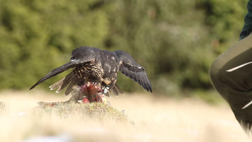 Bird of prey Peregrine Falcon in heather meadow. Peregrine falcon in nature habitat. Summer day with peregrine falcon. Peregrine falcon in the forest. Peregrine falcon in the grass with kill pheasant.