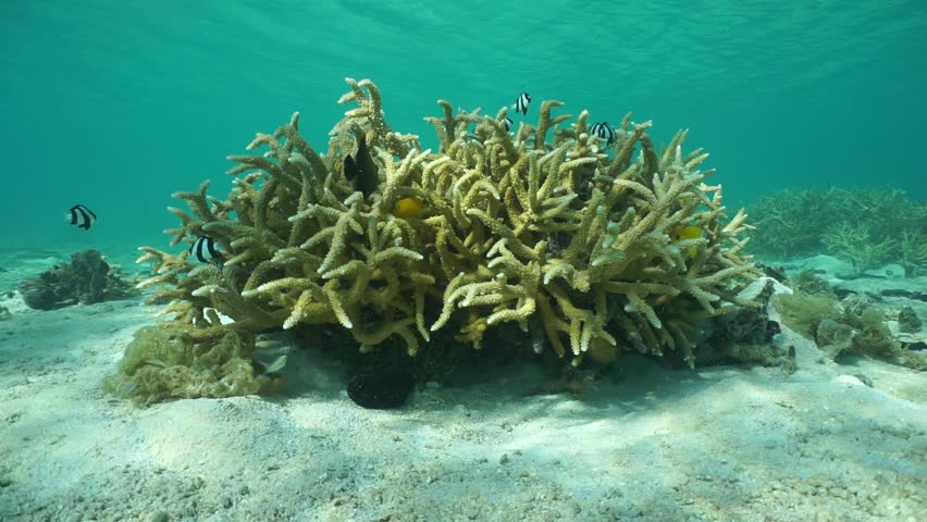 Header of Acropora pulchra