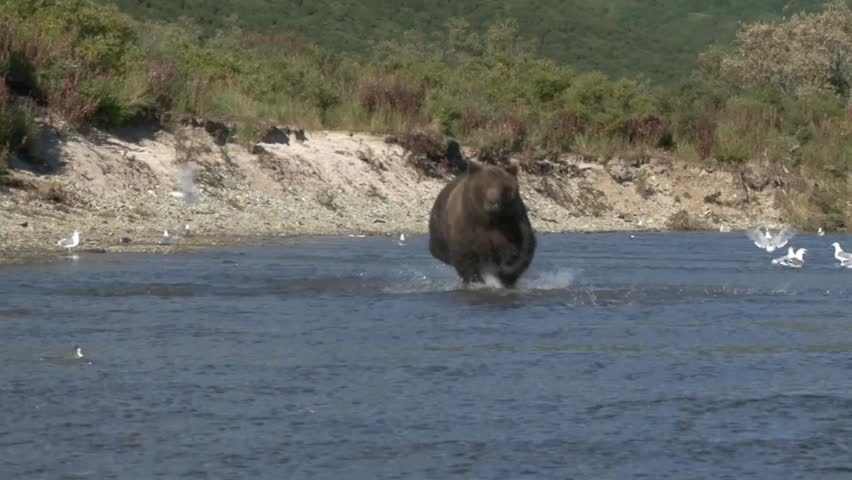 Grizzly Bear running in water catching a salmon