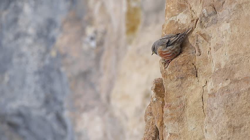 Header of Alpine Accentor