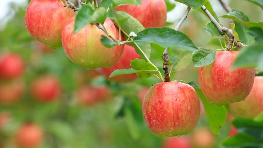 Sudden Summer Rain Starts Falling In Organic Apple Orchard ...