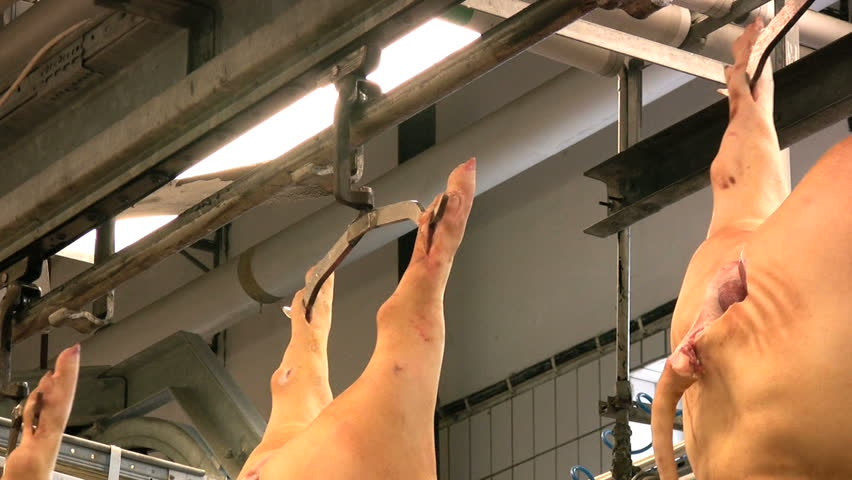 Pigs hanging on hooks in a slaughterhouse - HD stock video clip
