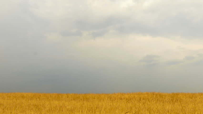Field of wheat under storm front moves across an open field bringing rain. Time Lapse #20546938