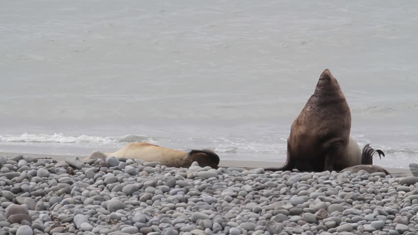 Sea lions mating - photo#27