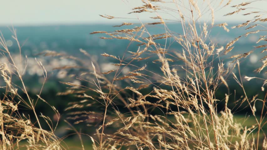 Header of Agrostis hyemalis