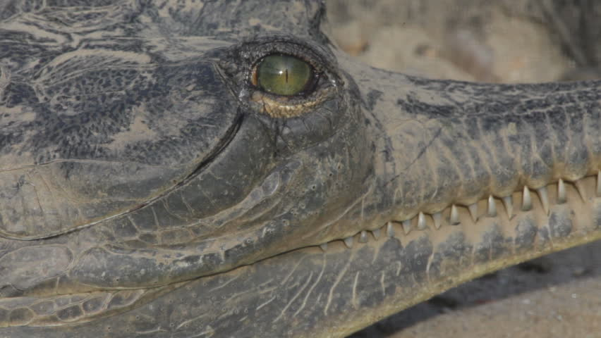 Gharial - HD stock footage clip