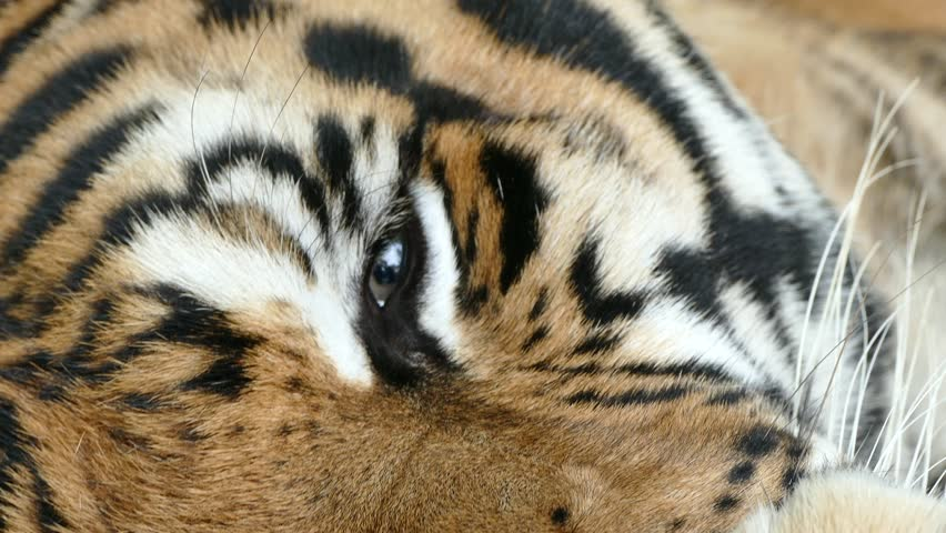 portrait of Bengal Tiger eyes #20869777