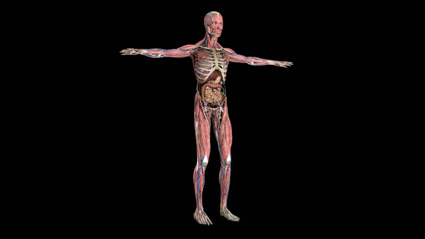 Human anatomy. The anatomical model of a human is rotated around its axis on black background. | Shutterstock HD Video #20880433