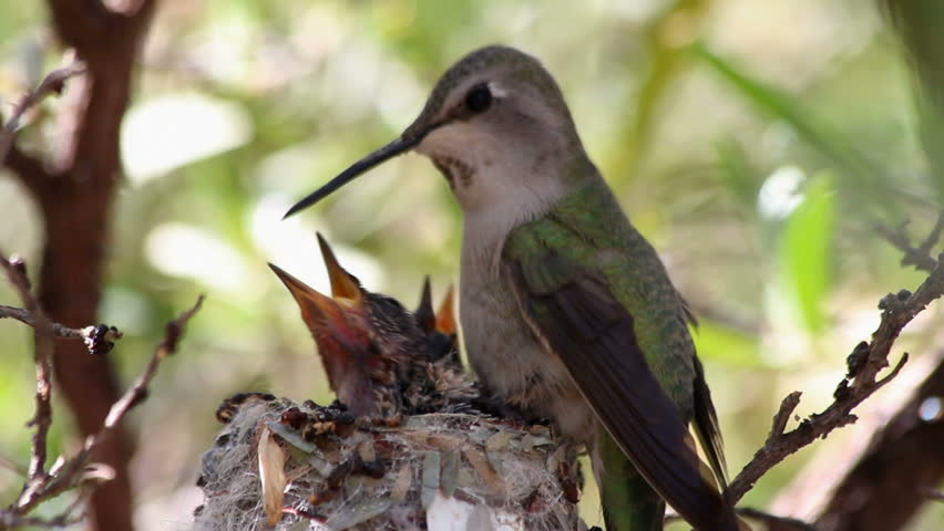 Hummingbird feeds small babies in nest, green, tree background. 1080p
