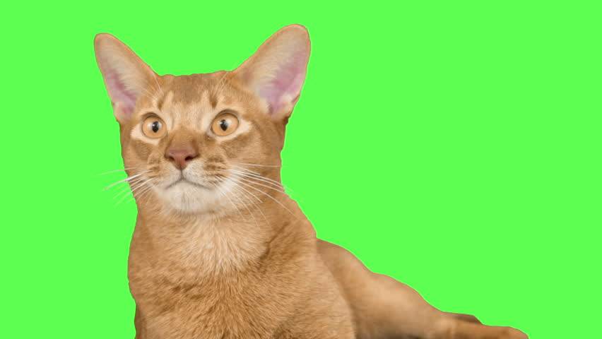 Header of Abyssinian Cat
