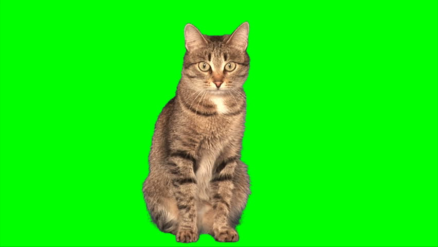 Grey stripy cat sits on green screen - HD stock video clip