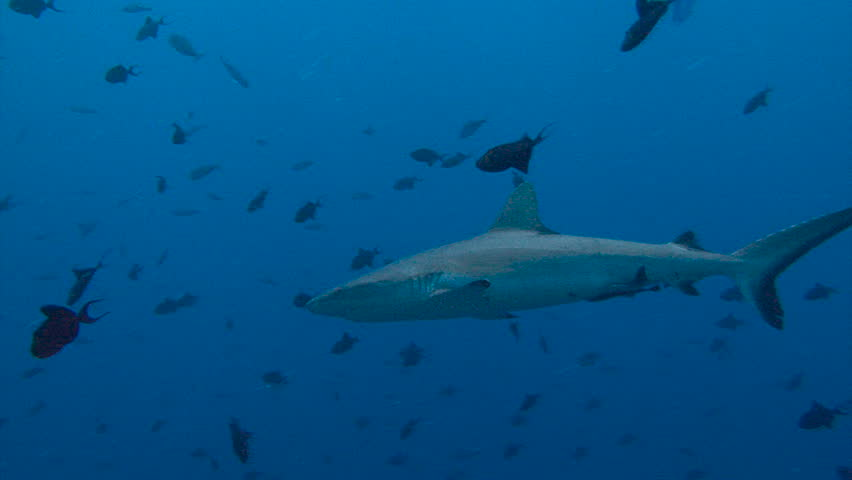 Fascinating underwater diving near the archipelago of Palau. Reef Blue Corner. Reef sharks. | Shutterstock HD Video #22252186