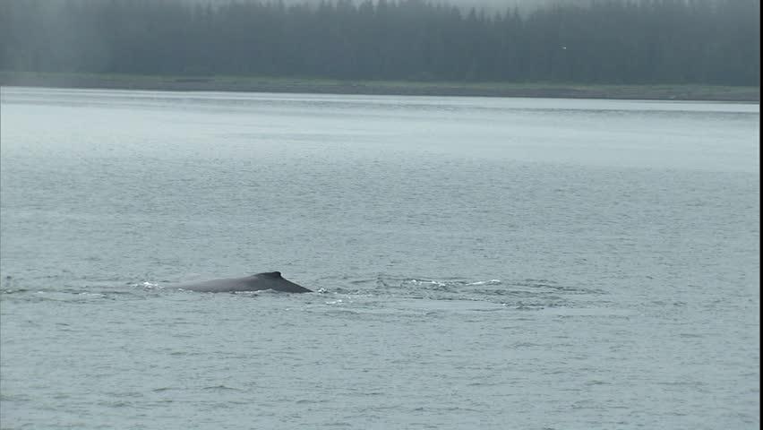 Humpback Whale Pod Dolly Shot, Point Adolphus, Alaska - HD stock footage clip