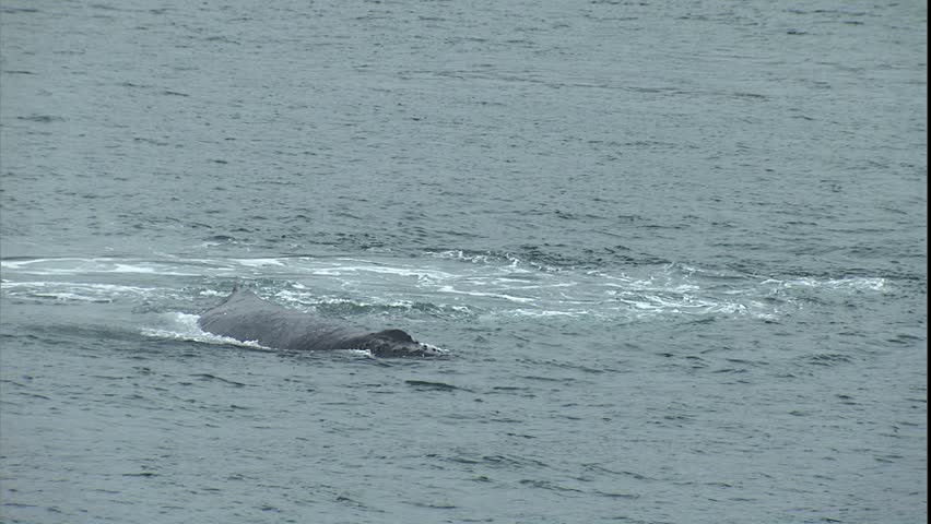 Humpback Whale Tail and Dive, Point Adolphus, Alaska - HD stock video clip
