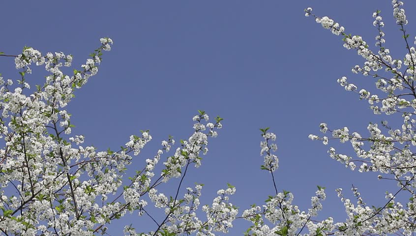 Cherry blossoms and clear blue sky