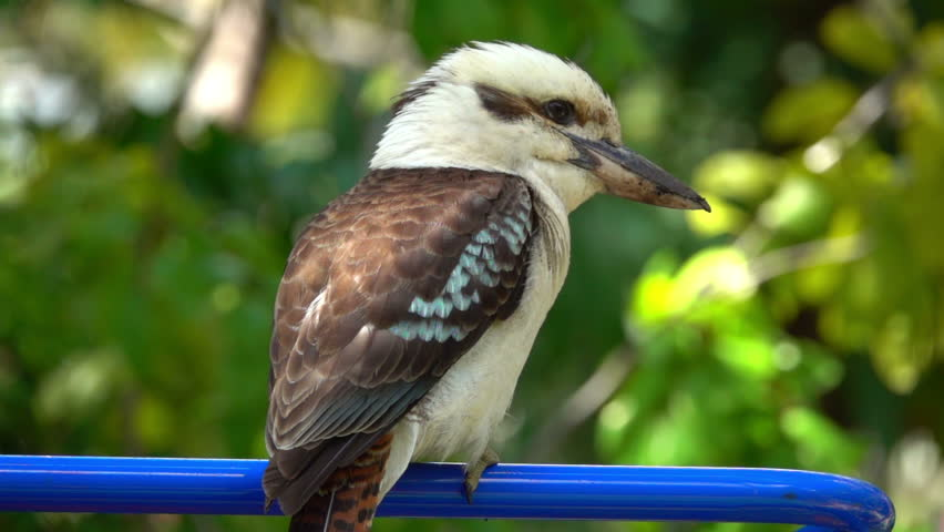 Kookaburra Close up, slow motion | Shutterstock HD Video #22668877