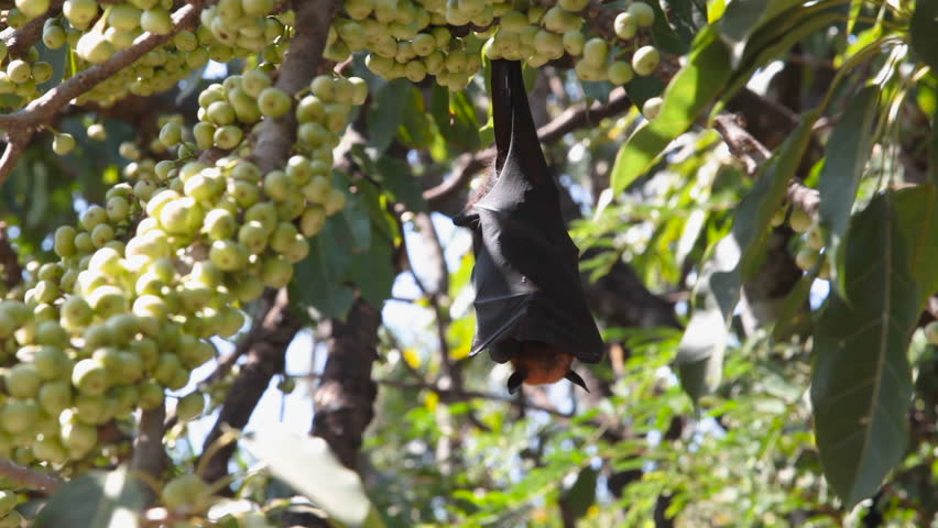 "Bat hanging on a tree branch Malayan bat or ""Lyle's flying fox"" science names ""Pteropus lylei"", low-angle of view shot 