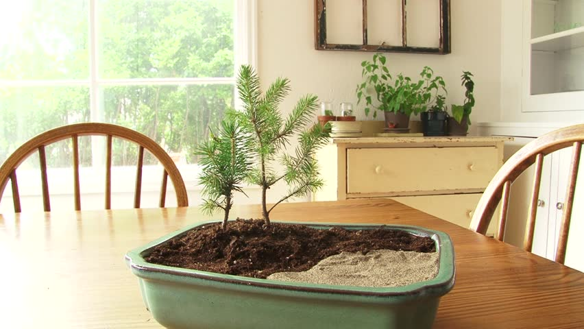 Person plants bonsai tree in pot and soil, adds sand and rocks and places on display.