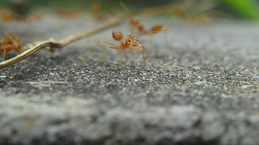 Red ant on cement | Shutterstock HD Video #23116285