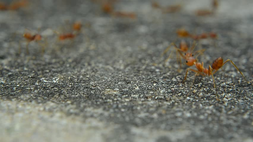 Red ant on cement | Shutterstock HD Video #23116303