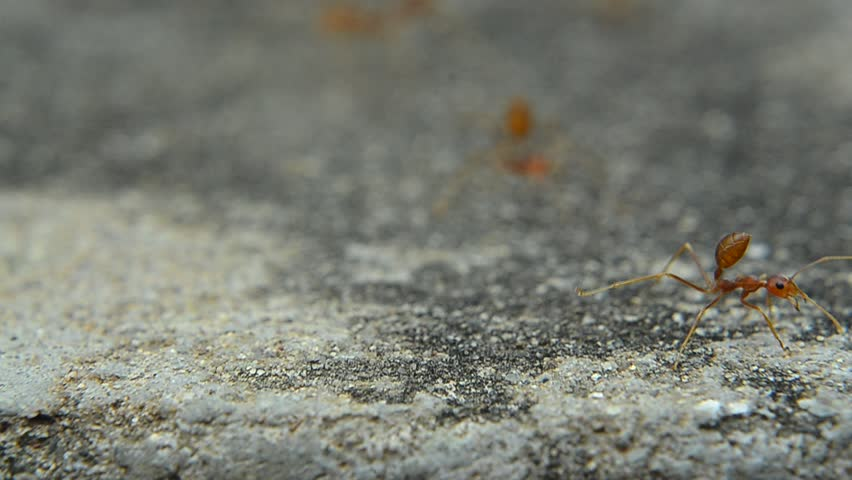 Red ant on cement | Shutterstock HD Video #23116312