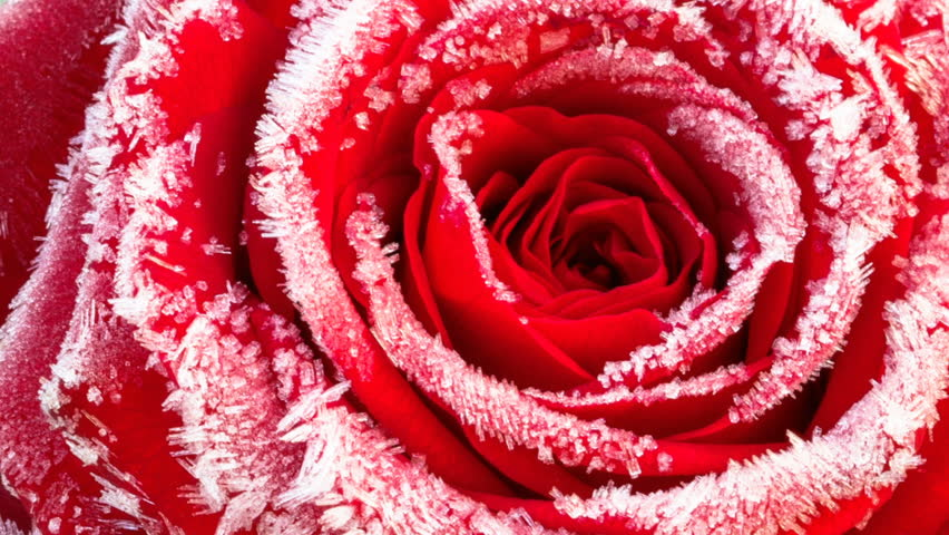 Timelapse footage: red rose with hoarfrost closeup, the flower is blossoming while the ice crystals melt   Shutterstock HD Video #23136904