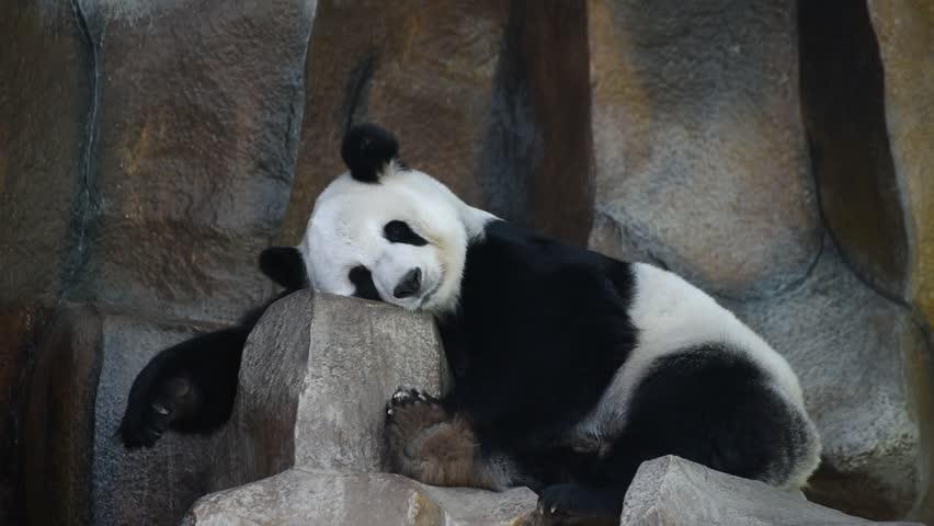 Giant panda in public zoo chiangmai Thailand  | Shutterstock HD Video #23180473