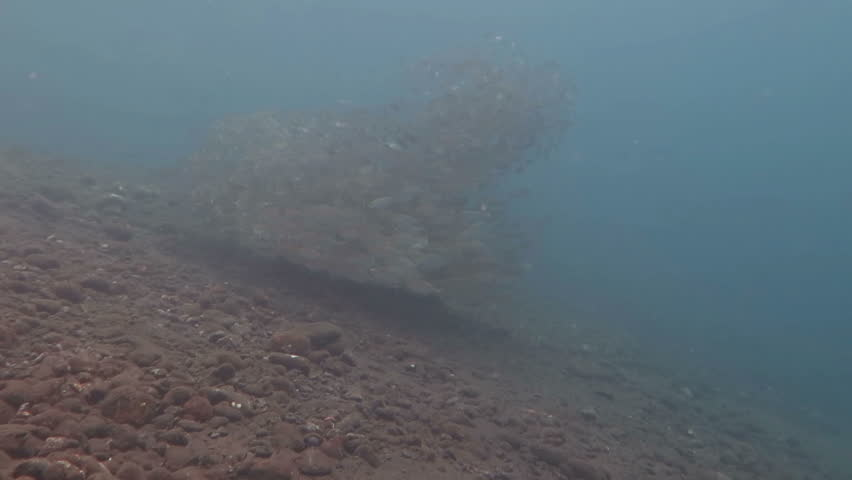 Sardine School in the Red Sea | Shutterstock HD Video #23182435