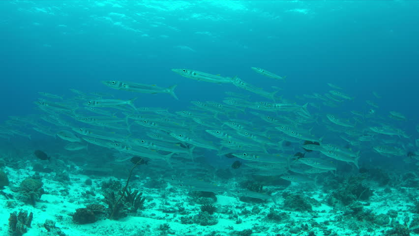 School of Barracudas swims in a light current on a coral reef. 4k footage | Shutterstock HD Video #23183857