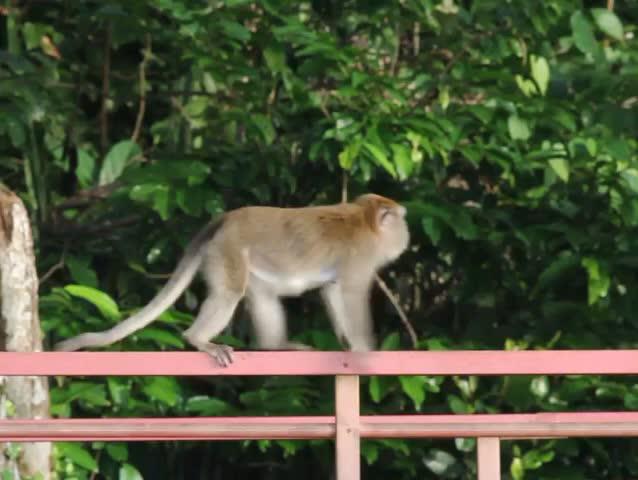 Life of monkeys in human environment | Shutterstock HD Video #23196178
