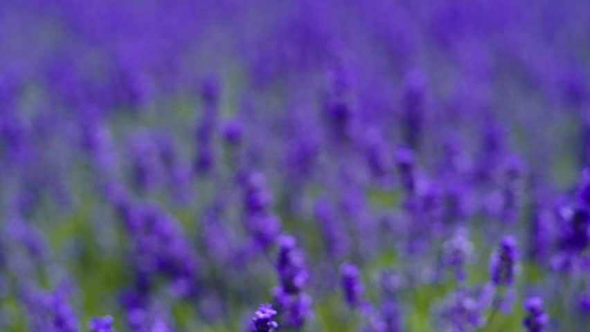 Lavender | Shutterstock HD Video #23213827