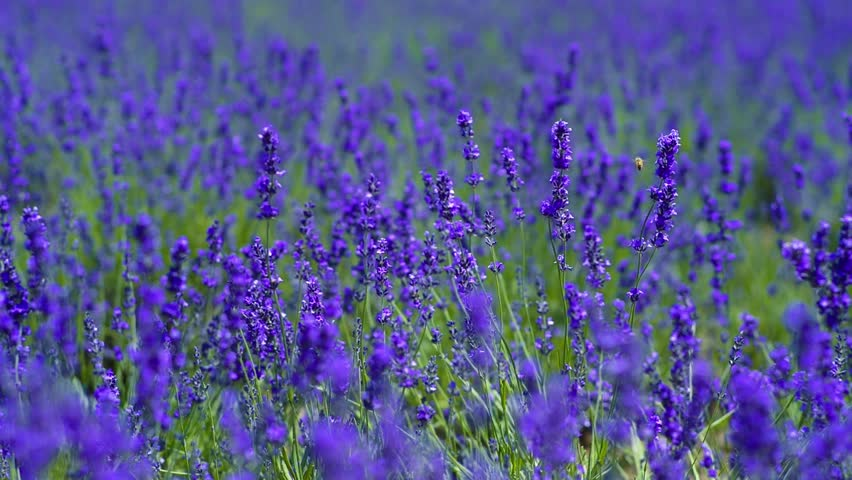 Lavender | Shutterstock HD Video #23213836