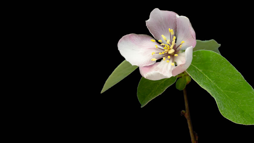 Quince flower timelapse cut out, encoded with photo png, transparent background 4k video at 30 fps/Quince flower cut out timelapse.  #23225734
