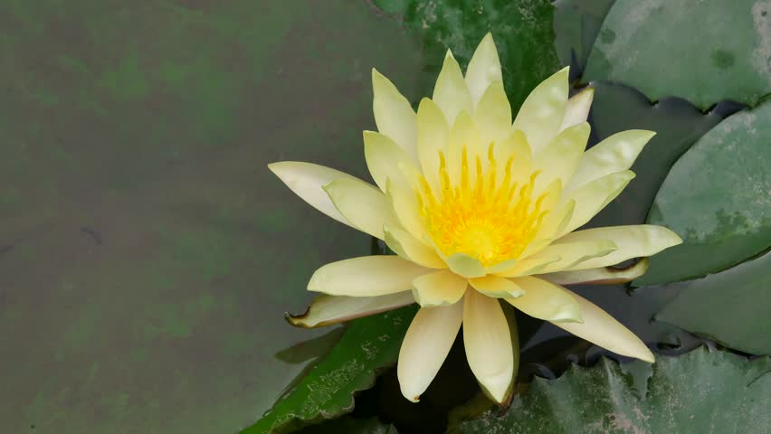 Ho Chi Minh city, Vietnam - Jan 20, 2015: Beautiful waterlily or lotus flower. | Shutterstock HD Video #23258674