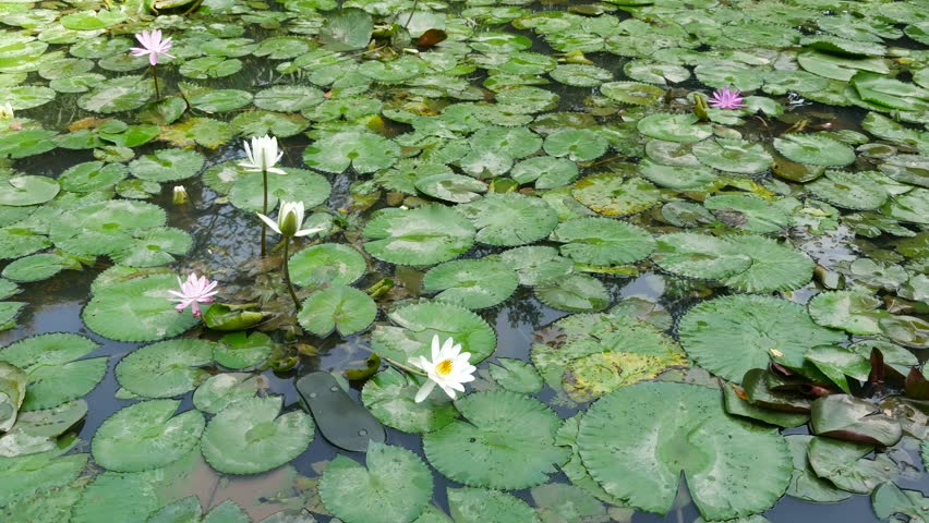 Ho Chi Minh city, Vietnam - Jan 20, 2015: Beautiful waterlily or lotus flower. | Shutterstock HD Video #23258683