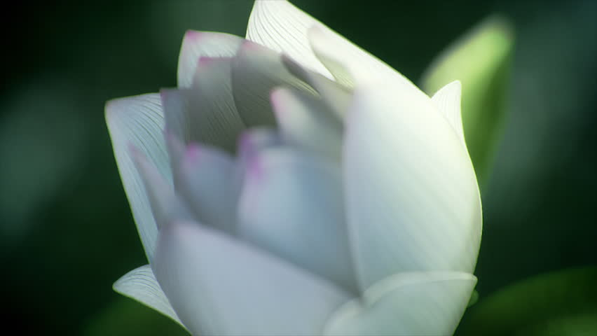 Beautiful lotus flower opening in smooth macro shot #23329126