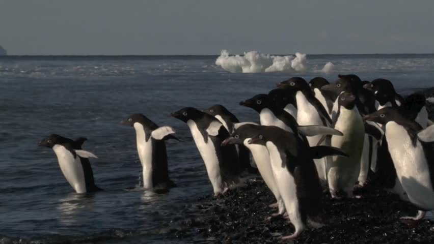 Adelie Penguins hesitate to go in the water