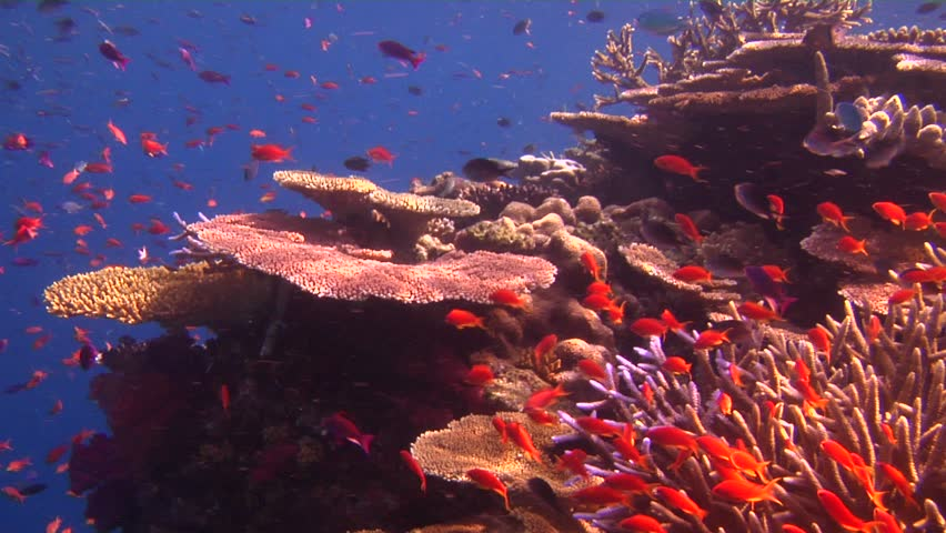 Scalefin anthias (Pseudanthias squamipinnis) floating underwater in Fiji Islands - HD stock video clip